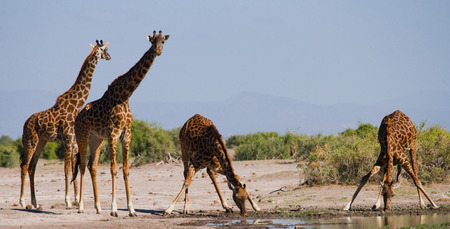 Group of giraffes at the watering. Kenya. Tanzania. East Africa. An excellent illustration. Stock Photo