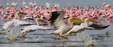 naivasha: A flock of pelicans taking off from the water. Lake Nakuru. Kenya. Africa. An excellent illustration.