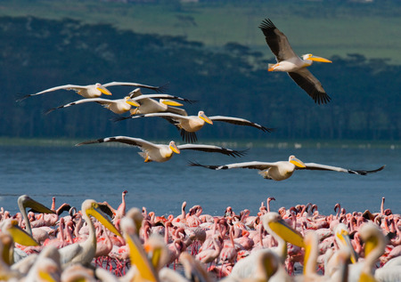 naivasha: A flock of pelicans flying over the lake. Lake Nakuru. Kenya. Africa. An excellent illustration.