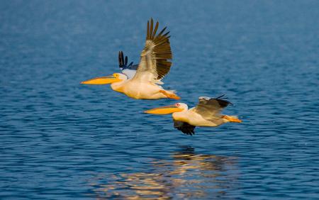 nakuru: A pair of pelicans flying over the water. Lake Nakuru. Kenya. Africa. An excellent illustration.