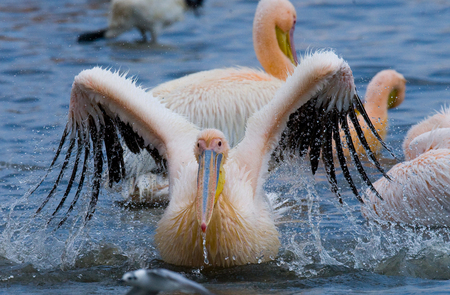 naivasha: Pelican swimming in the water in all the a spray of. Lake Nakuru. Kenya. Africa. An excellent illustration.
