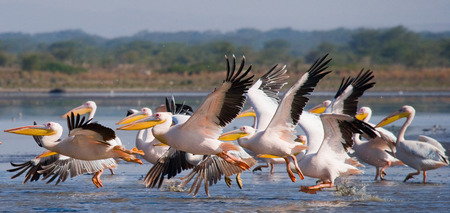 A flock of pelicans flying over the lake. Lake Nakuru. Kenya. Africa. An excellent illustration.