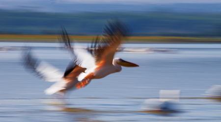 A pair of pelicans flying over the water. Lake Nakuru. Kenya. Africa. An excellent illustration.