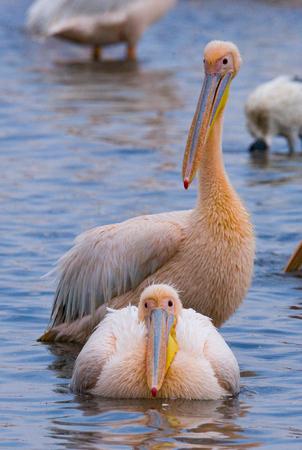 nakuru: Pelicans on the lake. Lake Nakuru. Kenya. Africa. An excellent illustration.
