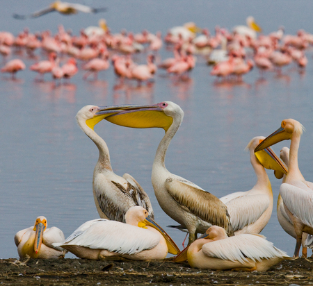 naivasha: Group of pelicans sits at the waters edge. Lake Nakuru. Kenya. Africa. An excellent illustration.