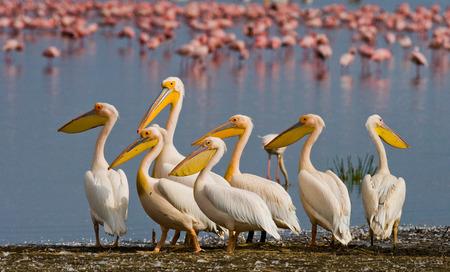 nakuru: Group of pelicans sits at the waters edge. Lake Nakuru. Kenya. Africa. An excellent illustration.