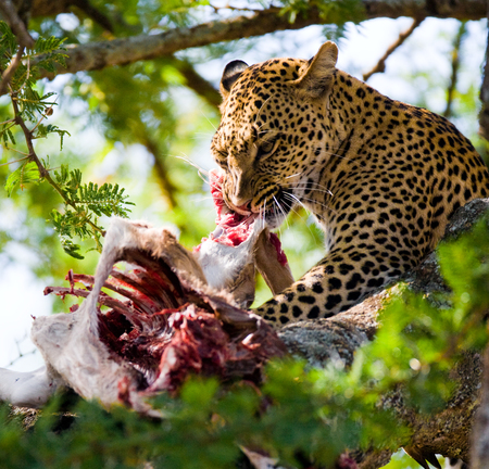secretive: Leopard is eating prey on the tree. National Park. Kenya. Tanzania. Maasai Mara. Serengeti. An excellent illustration.