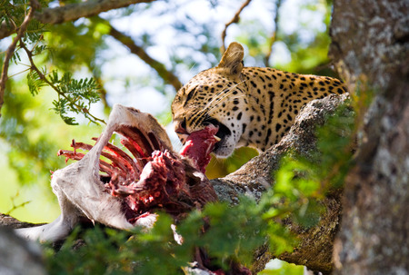 maasai mara: Leopard is eating prey on the tree. National Park. Kenya. Tanzania. Maasai Mara. Serengeti. An excellent illustration.