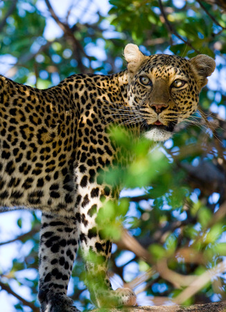 maasai mara: Leopard standing on the tree. National Park. Kenya. Tanzania. Maasai Mara. Serengeti. An excellent illustration.