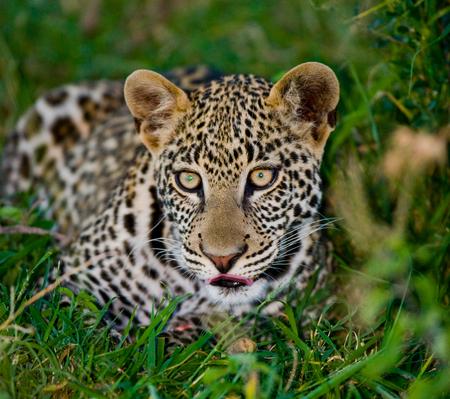 maasai mara: Portrait of Leopard. Close-up. National Park. Kenya. Tanzania. Maasai Mara. Serengeti. An excellent illustration.