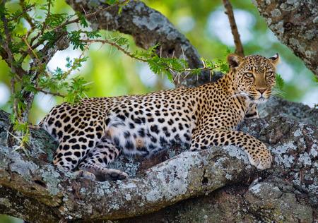 maasai mara: Leopard is lying on a tree. National Park. Kenya. Tanzania. Maasai Mara. Serengeti. An excellent illustration.