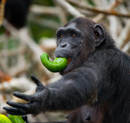 chimpances: Chimpanzees eat fruit. Republic of the Congo. Conkouati-Douli Reserve. An excellent illustration. Foto de archivo