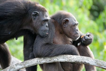 chimpanc�s: Chimpanzees on mangrove branches. Republic of the Congo. Conkouati-Douli Reserve. An excellent illustration.