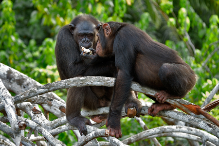 chimpances: Los chimpancés comen fruta. República del Congo. Reserva Conkouati Douli. Una excelente ilustración.