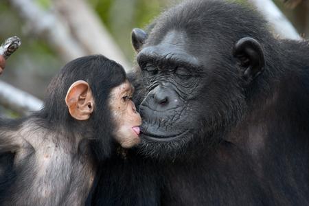 맹그로브 나무에 아기와 함께 여성 침팬지. 콩고 공화국. Conkouati-Douli Reserve. 훌륭한 그림. 스톡 콘텐츠