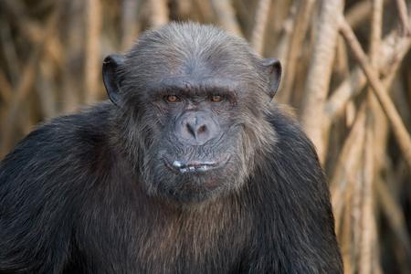 オスのチンパンジーの肖像画。コンゴ共和国。Conkouati Douli リザーブ。優秀なイラスト。