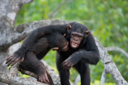 chimpances: Dos chimpancés juegan entre sí. República del Congo. Reserva Conkouati Douli. Una excelente ilustración.