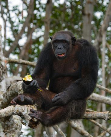 chimpanc�s: Chimpanzees eat fruit. Republic of the Congo. Conkouati-Douli Reserve. An excellent illustration. Foto de archivo