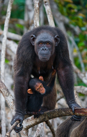 A female chimpanzee with a baby on mangrove trees. Republic of the Congo. Conkouati-Douli Reserve. An excellent illustration.