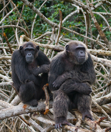 chimpances: Chimpanzees on mangrove branches. Republic of the Congo. Conkouati-Douli Reserve. An excellent illustration.