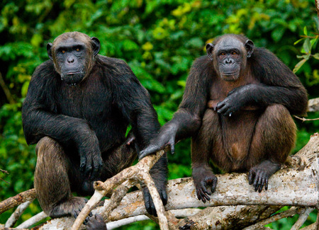 맹그로브 분기에 침팬지입니다. 콩고 공화국. Conkouati-Douli Reserve. 훌륭한 그림.