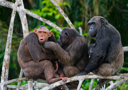 Group chimpanzee sitting on mangrove branches. Republic of the Congo. Conkouati-Douli Reserve. An excellent illustration. Stock Photo