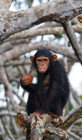 A baby chimpanzee on mangrove branches. Republic of the Congo. Conkouati-Douli Reserve. An excellent illustration. Stock Photo