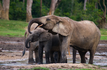 poaching: Forest elephant drinking water from a source of water. Central African Republic. Republic of Congo. Dzanga-Sangha Special Reserve. An excellent illustratio