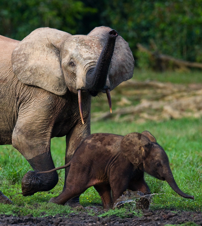 Female elephant with a baby. Central African Republic. Republic of Congo. Dzanga-Sangha Special Reserve. An excellent illustration. Stock Photo