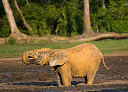 Forest elephant drinking water from a source of water. Central African Republic. Republic of Congo. Dzanga-Sangha Special Reserve. An excellent illustration.