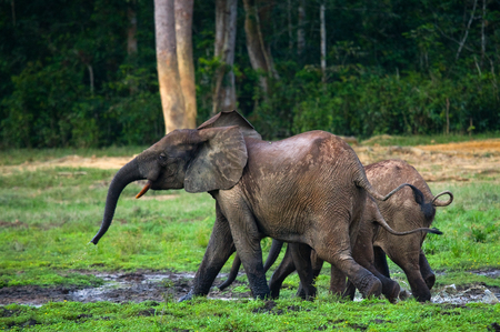 Two forest elephant go into the jungle. Central African Republic. Republic of Congo. Dzanga-Sangha Special Reserve. An excellent illustration. Stock Photo