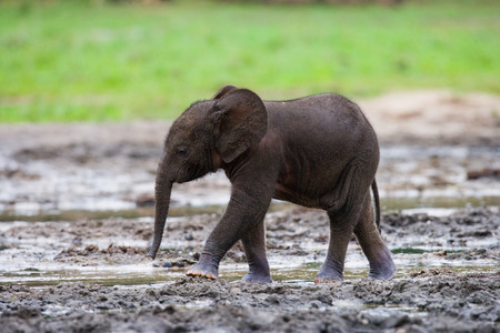 A baby forest elephant. Central African Republic. Republic of Congo. Dzanga-Sangha Special Reserve. An excellent illustration.