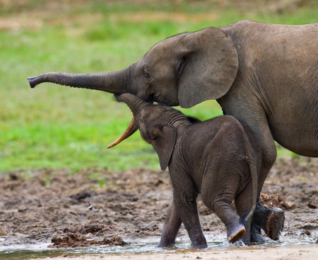 poaching: Female elephant with a baby. Central African Republic. Republic of Congo. Dzanga-Sangha Special Reserve. An excellent illustration. Stock Photo