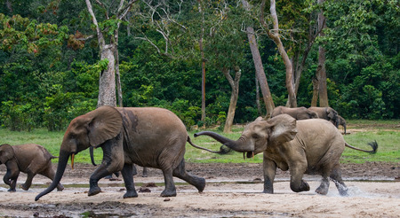 Forest elephants playing with each other. Central African Republic. Republic of Congo. Dzanga-Sangha Special Reserve. An excellent illustration. Stock Photo
