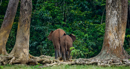 poaching: Two forest elephant go into the jungle. Central African Republic. Republic of Congo. Dzanga-Sangha Special Reserve. An excellent illustration. Stock Photo