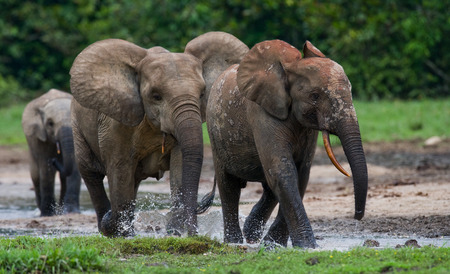 poaching: Forest elephants playing with each other. Central African Republic. Republic of Congo. Dzanga-Sangha Special Reserve. An excellent illustration. Stock Photo