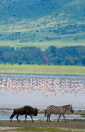 turismo ecologico: Two zebras in the background flamingo. Kenya. Tanzania. National Park. Serengeti. Maasai Mara. An excellent illustration.