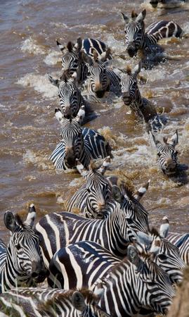 turismo ecologico: Grupo de cebra que cruza el río Mara. Kenia. Tanzania. Parque Nacional. Serengeti. Masai Mara. Una excelente ilustración. Foto de archivo