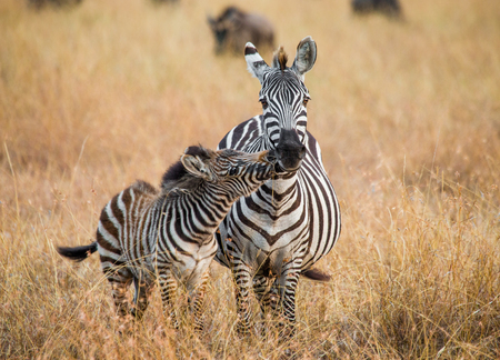 ecological tourism: Zebra with a baby. Kenya. Tanzania. National Park. Serengeti. Maasai Mara. An excellent illustration.