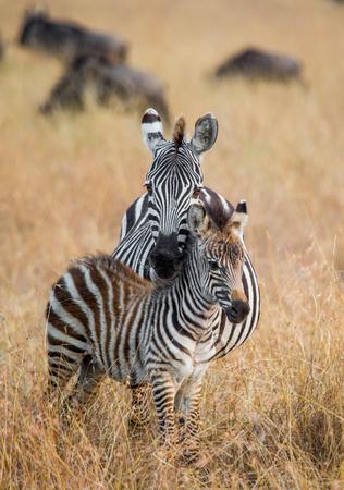 turismo ecologico: Zebra with a baby. Kenya. Tanzania. National Park. Serengeti. Maasai Mara. An excellent illustration.