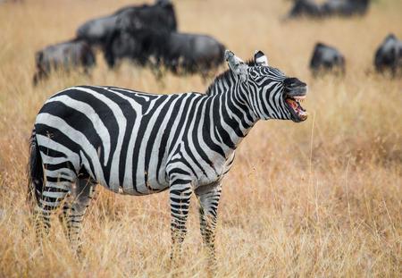 turismo ecologico: Zebra standing in the savannah and yawning. Kenya. Tanzania. National Park. Serengeti. Masai Mara. An excellent illustration.