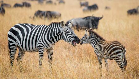 turismo ecologico: Cebra con un bebé. Kenia. Tanzania. Parque Nacional. Serengeti. Masai Mara. Una excelente ilustración.