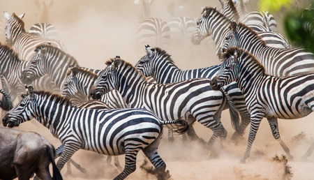 turismo ecologico: Zebras are running in the dust in motion. Kenya. Tanzania. National Park. Serengeti. Masai Mara. An excellent illustration.