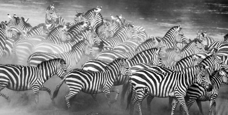turismo ecologico: Grupo de cebras en el polvo. Kenia. Tanzania. Parque Nacional. Serengeti. Masai Mara. Una excelente ilustración.