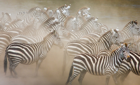 ecological tourism: Group of zebras in the dust. Kenya. Tanzania. National Park. Serengeti. Maasai Mara. An excellent illustration.