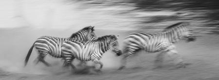 turismo ecologico: Las cebras se están ejecutando en el polvo en movimiento. Kenia. Tanzania. Parque Nacional. Serengeti. Masai Mara. Una excelente ilustración. Foto de archivo