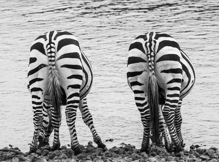 maasai mara: Zebra. Back view. Kenya. Tanzania. National Park. Serengeti. Maasai Mara. An excellent illustration.