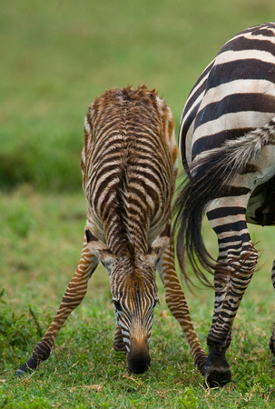 maasai mara: Zebra with a baby. Kenya. Tanzania. National Park. Serengeti. Maasai Mara. An excellent illustration.