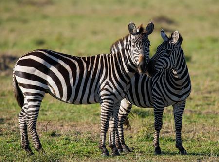 turismo ecologico: Two zebras in the savanna. Kenya. Tanzania. National Park. Serengeti. Maasai Mara. An excellent illustration.