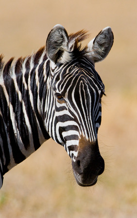 ecological tourism: Portrait of a zebra. Close-up. Kenya. Tanzania. National Park. Serengeti. Maasai Mara. An excellent illustration.